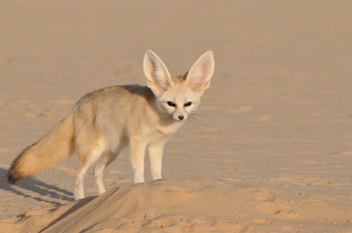 Fennek © Sahara Conservation Fund